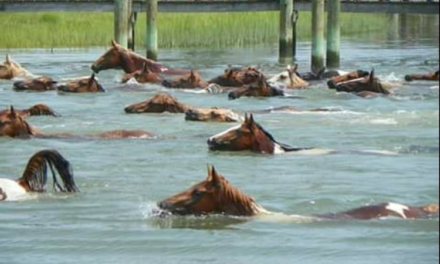 PETA Asks Chincoteague Volunteer Fire Company to End Pony Penning