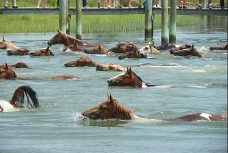 Ponies Make the Swim from Assateague