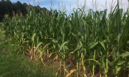 Virginia Corn and Soybean Production Expected to Increase