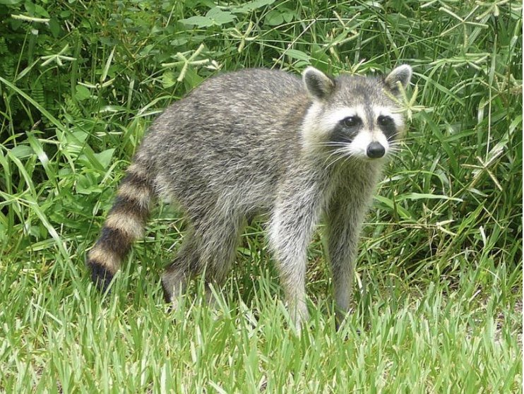 Aggressive Raccoon Reported in Onancock