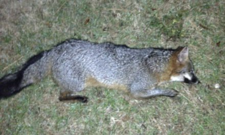 Animal Control Captures Second Fox in Onancock