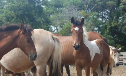 Ponies corralled on Assateague because visitors ignored warnings