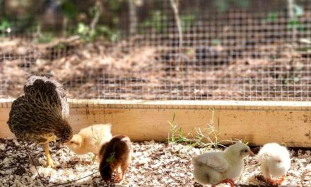 VDACS urges Virginians to think before you buy your backyard chickens