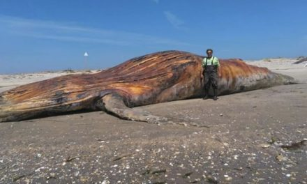 Second dead whale washes ashore off Oyster