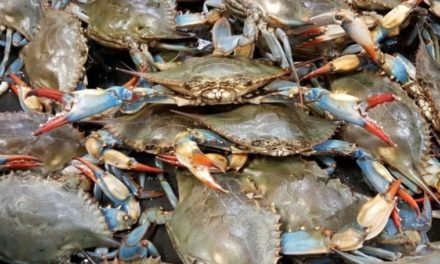 VMRC Survey: Blue crab numbers are healthy
