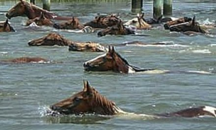 Today is the 94th Annual Pony Swim