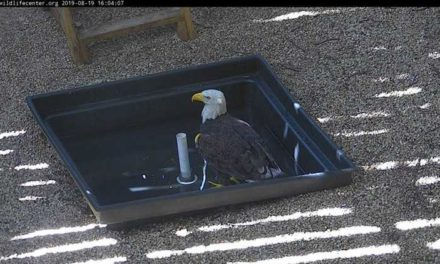 Wildlife Center of Va. to release two bald eagles on the Shore Friday
