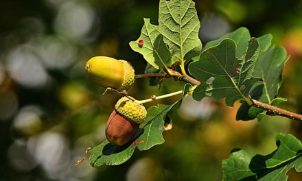 Va. Dept. of Forestry seeking acorn donations