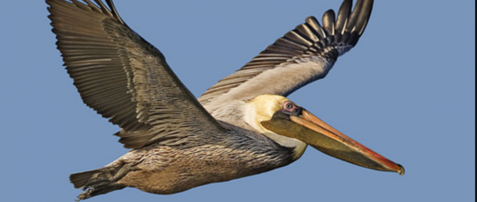Eastern Shore home to Brown Pelican population